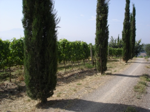 cipress-trees-on-giannis-property