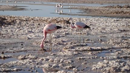 andean-flamingos