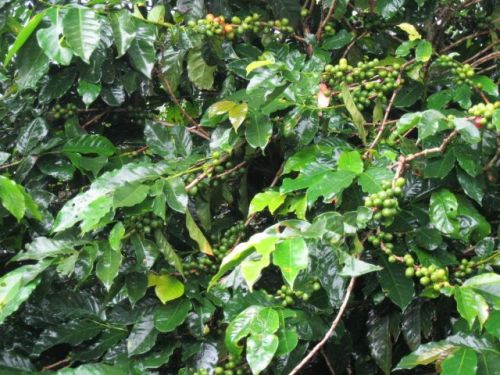 COFFEE BEANS IN COSTA RICA