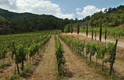 Ceppeto - vigneto-vineyard Ischio - estate-summer 2006