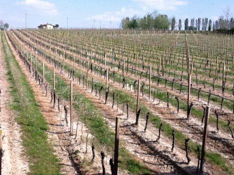 Vines in Lugana