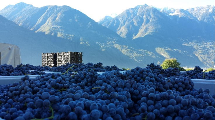 Nebbiolo from the Alps